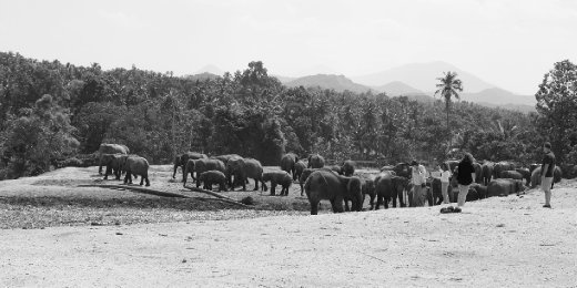 The Pinnawela Elephant Orphanage provides 25 acres of land for the elphants to be safe and free.  Also provides a great platform to educated it's visitors of these beautiful animals.