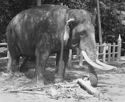 The Pinnawela Elephant Orphanage provides abundance of food for these beautiful creatures.