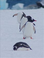 Gentoo Penguins making their way to the Nesting sites at Yankee Harbour: by expedition, Views[93]