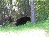 Black bear on the side of the road on the way to Maligne Lake: by explorerdotgone, Views[98]