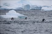 Porpoising Gentoo penguins: by felixdnp, Views[66]