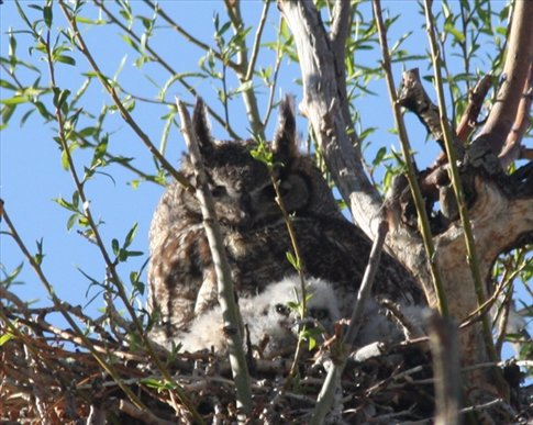 Great horned owl and chickZapata Ranch