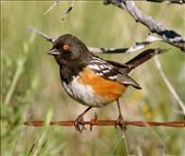 Spotted towhee, Castlewood Canyon: by fieldnotes, Views[202]