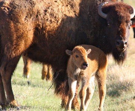Bison, Zapata Ranch