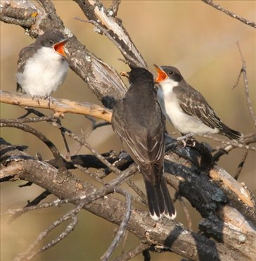 Hungry young kingbirds, TR NP, ND