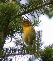 Blackburnian warbler: by fieldnotes, Views[210]