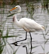 Great egret: by fieldnotes, Views[140]