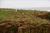 Bonavista puffin colony: by fieldnotes, Views[125]