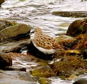 White-rumped sandpiper: by fieldnotes, Views[117]