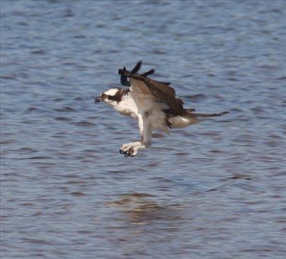 osprey on the prowl ding darling nwr florida gulf coast. Black Bedroom Furniture Sets. Home Design Ideas