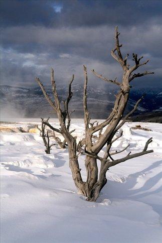 Tree at Mammoth