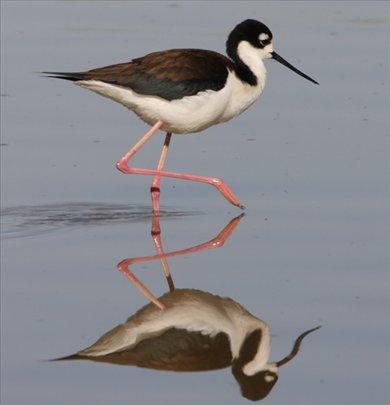 Black necked stilt, AZ
