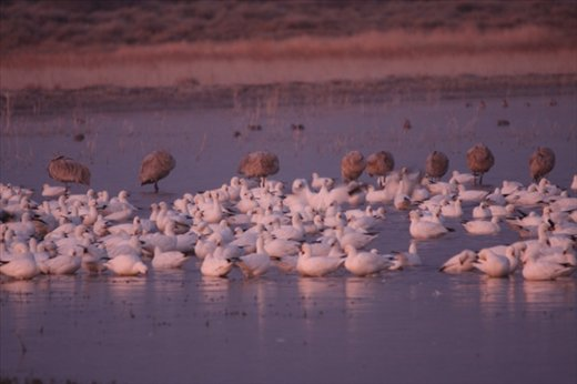 Sandhill cranes and snow geese, Bosque del Apache NWR, NM
