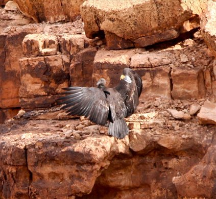 California Condor, Vermillion Cliffs, AZ