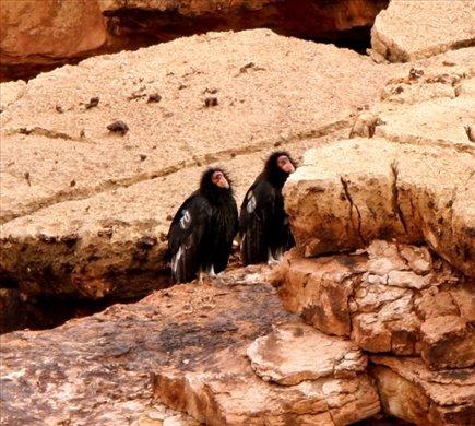 Condors, Vermillion Cliffs,AZ