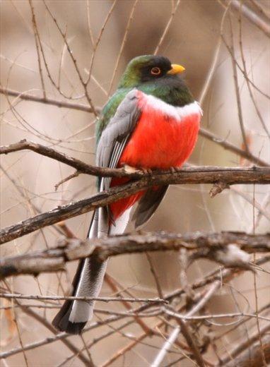 Bird of the trip, Elegant Trogon, Patagonia State Park, AZ