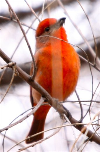 Hepatic tanager,Patagonia State Park, AZ