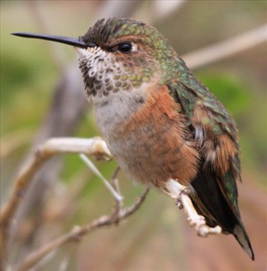 Rufous hummingbird, AZ
