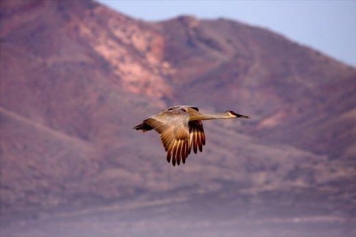 Sandhill crane in flight, Bosque del Apache NWR