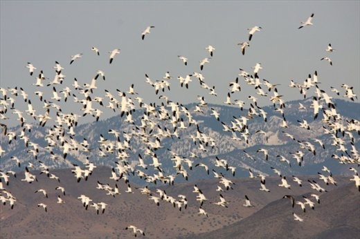 Snow geese spooked by kestrel, Bosque del Apache NWR
