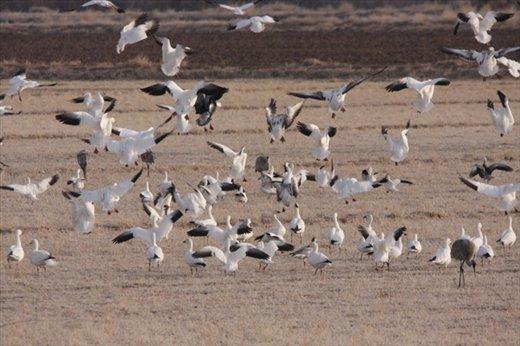 Snow geese landing, Bosque del Apache NWR