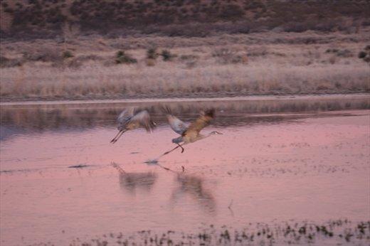 Running take off, Bosque del Apache NWR