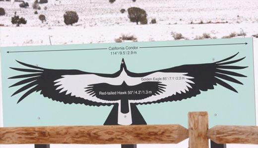 Condor v. golden eagle v. red-tail hawk, Vermillion Cliffs