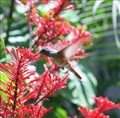 Amizilla emerald hummingbird: by fieldnotes, Views[267]