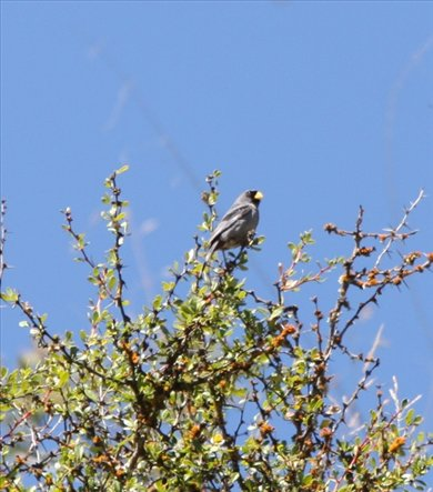 Bandtailed seedeater