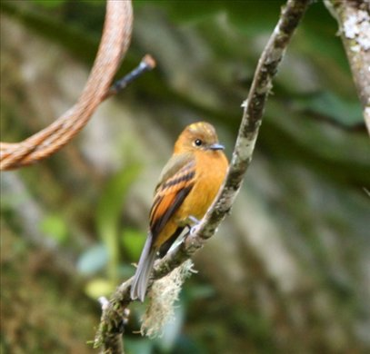 Cinnamon flycatcher