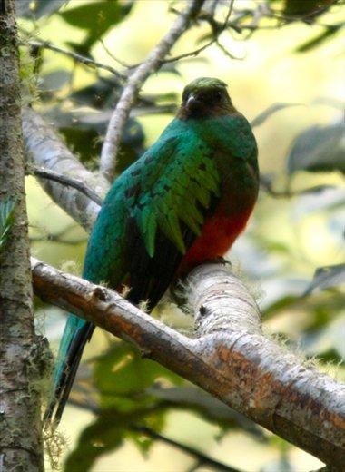 Golden-headed quetzal, Manu NP