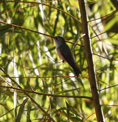 Long-tailed slyph