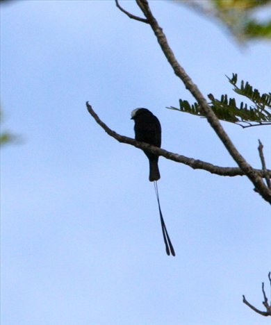 Long-tailed tyrant