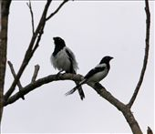 Magpie tanager: by fieldnotes, Views[112]