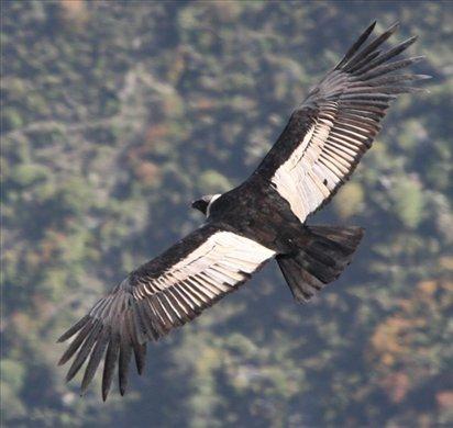 Andean condor (male)