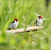 Red-capped cardinal, Manu NP: by fieldnotes, Views[102]