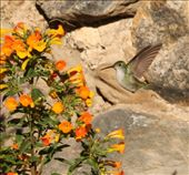 White-bellied hummingbird: by fieldnotes, Views[117]