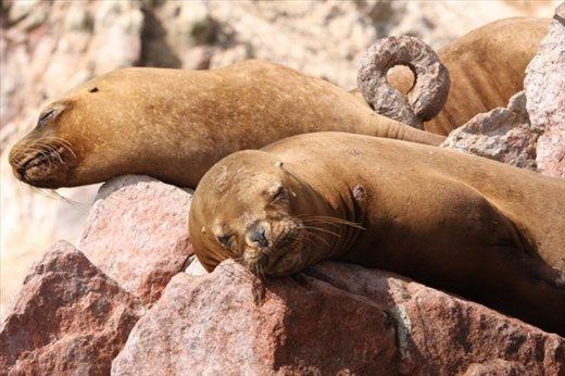 Sea lions, Islas de Ballestas