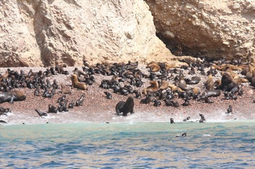 Sea lion nursery, Islas de Ballestas