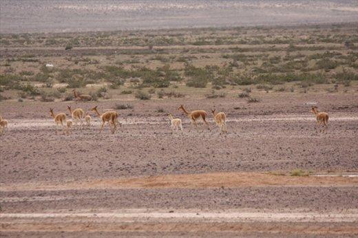 Vicunas, Reserva Nacional Salinas y Aguada Blanca