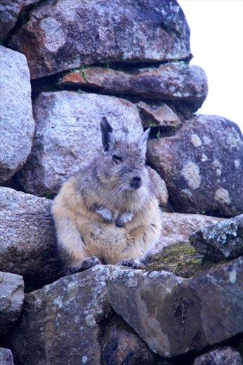 Temple critter, Machu Picchu