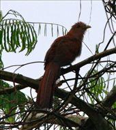 Squirrel cuckoo, Villa Jennifer, Tingo Maria: by fieldnotes, Views[175]