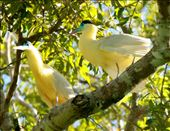 Capped herons: by fieldnotes, Views[879]