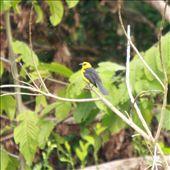 Oriole blackbird, Villa Jennifer, Tingo Maria: by fieldnotes, Views[386]
