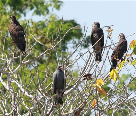 Slate-colored hawks