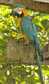 Blue and yellow macaws, the menagerie at Villa Jennifer: by fieldnotes, Views[277]