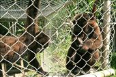 Monkeys, the menagerie at Villa Jennifer: by fieldnotes, Views[259]