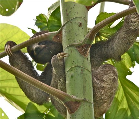 Young 3 toed sloth, Muyuna Lodge