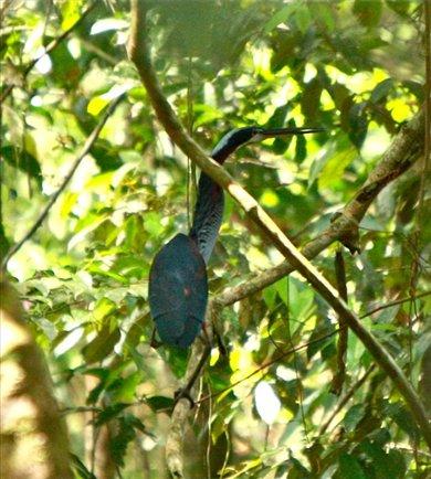 Agami heron, Muyuna Lodge