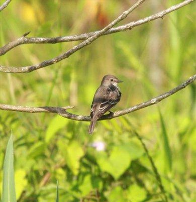 Amazon scrub flycatcher, Muyuna Lodge
